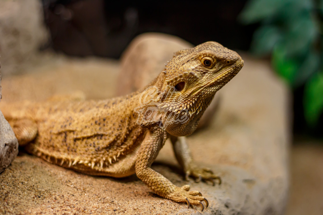 """Bearded dragon on a sandy rock"" stock image"