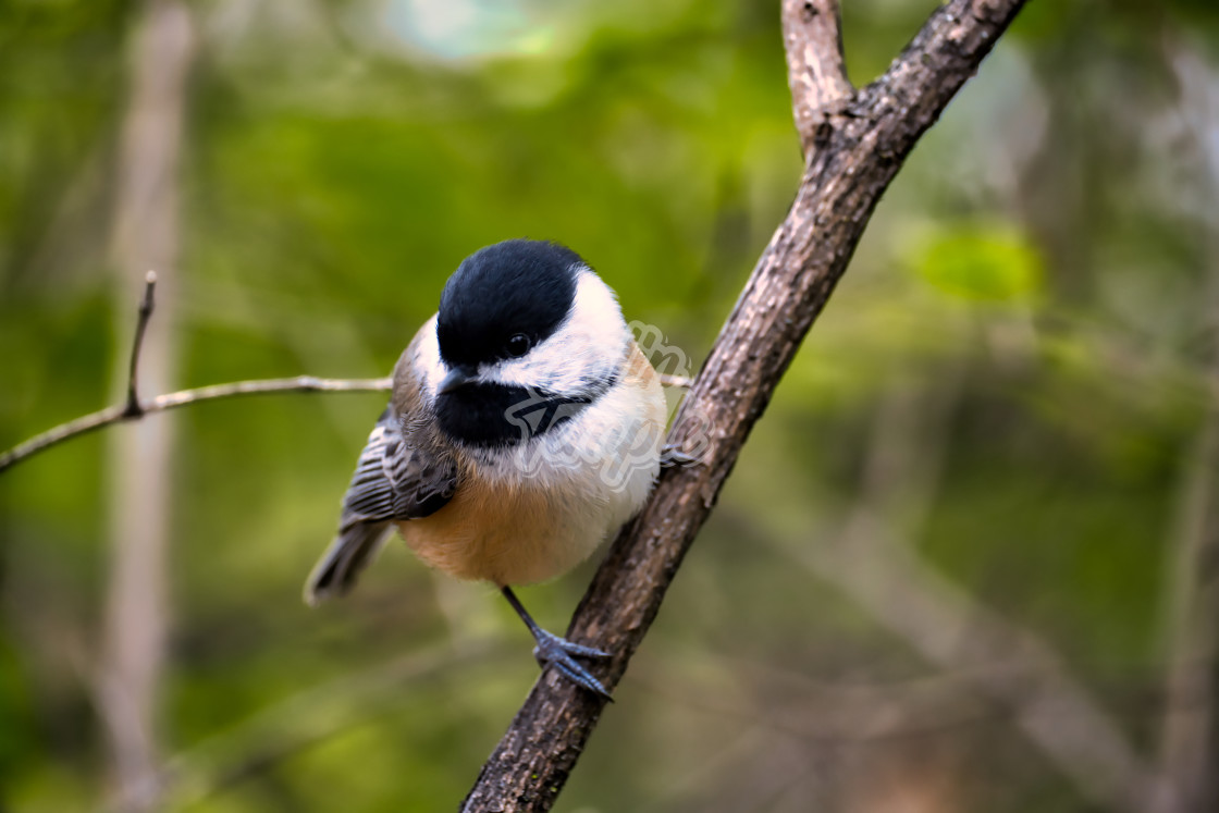 """Chickadee perching on diagonal branch"" stock image"