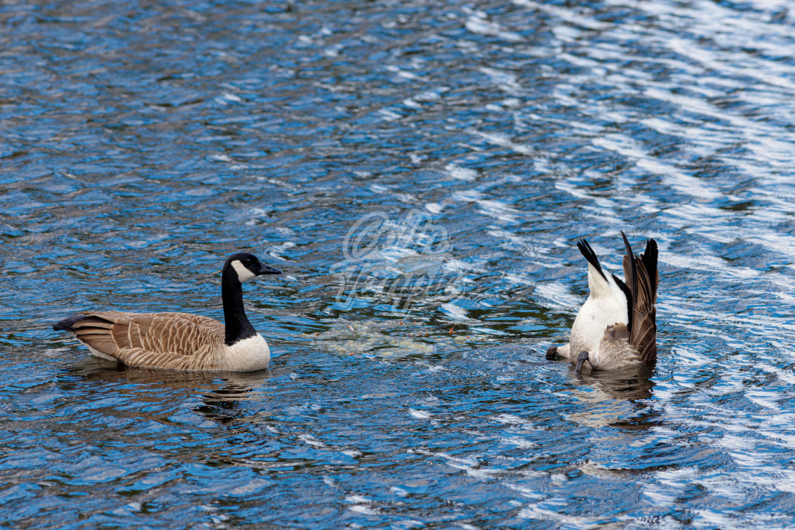 """""""Canada geese feeding and swimming in blue lake"""" stock image"""