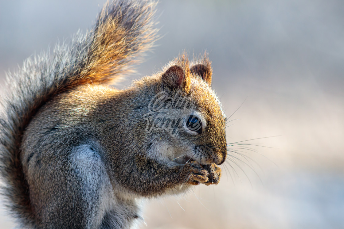 """Red squirrel nibbling, tinged with golden light"" stock image"