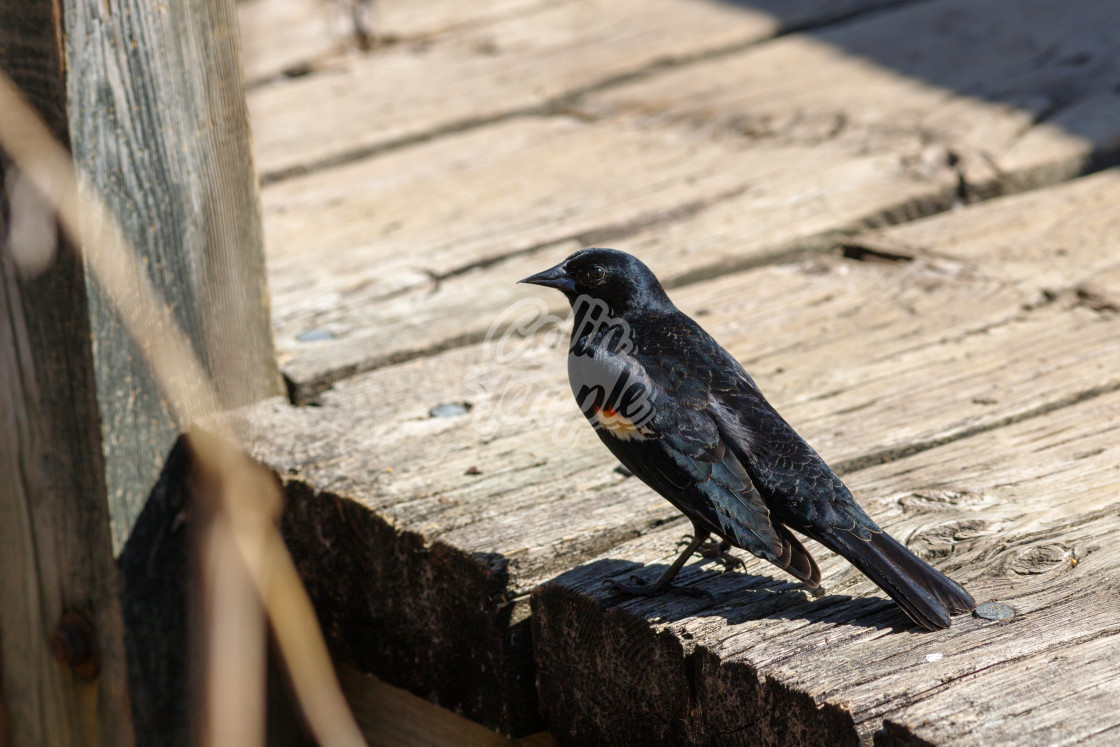 """Red-winged blackbird"" stock image"