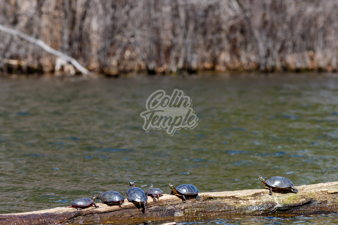 """Six turtles basking in the sun on a log"" stock image"