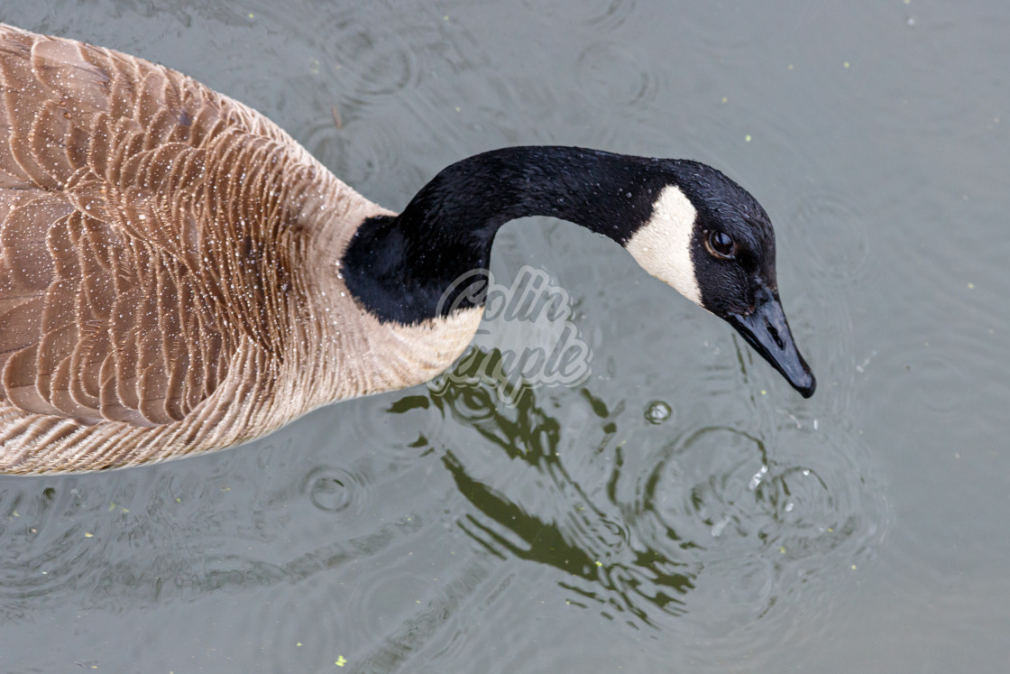 """Overhead view of a Canada goose looking up"" stock image"