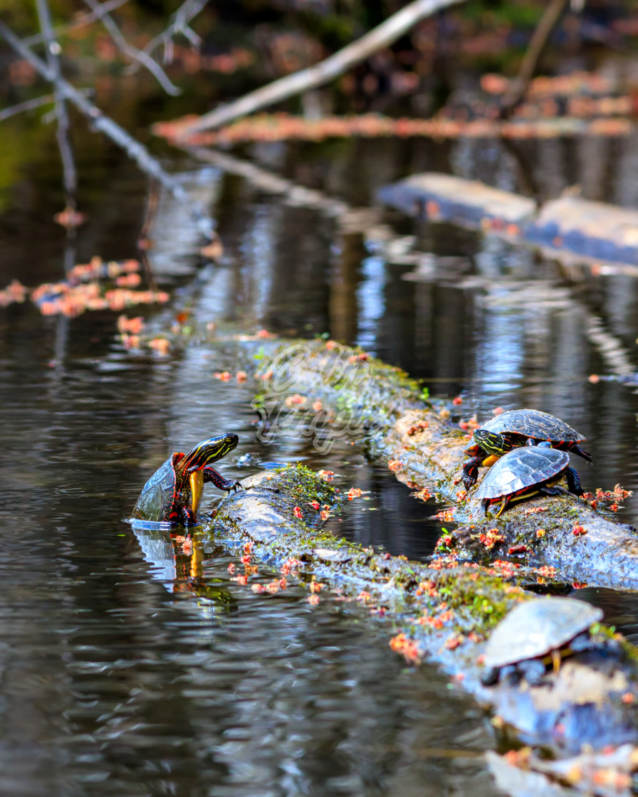 """""""Painted turtle climbing out of water"""" stock image"""