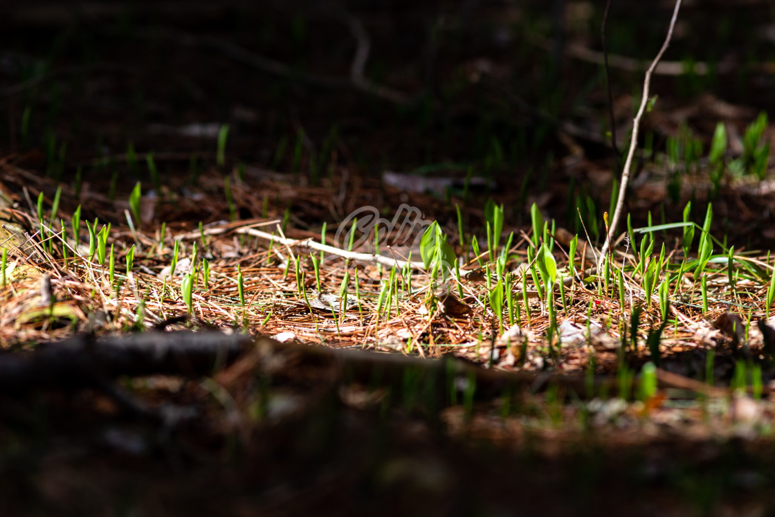 """""""New spring growth on the forest floor"""" stock image"""