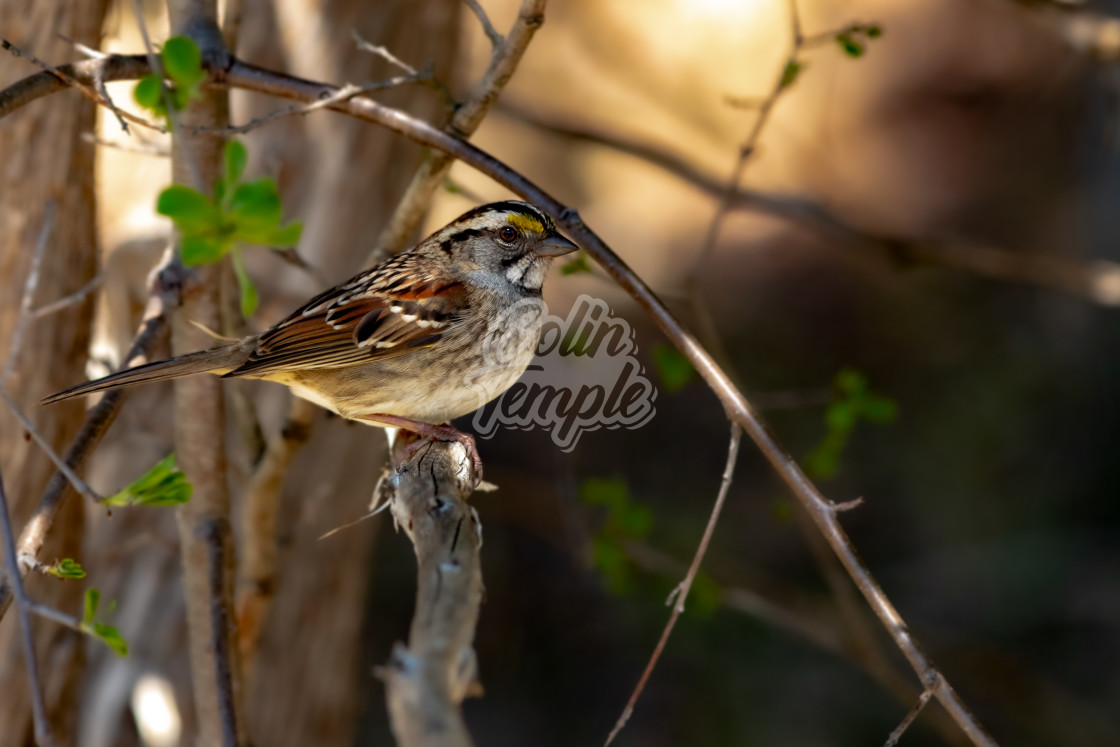 """""""White-throated sparrow perching on a branch"""" stock image"""