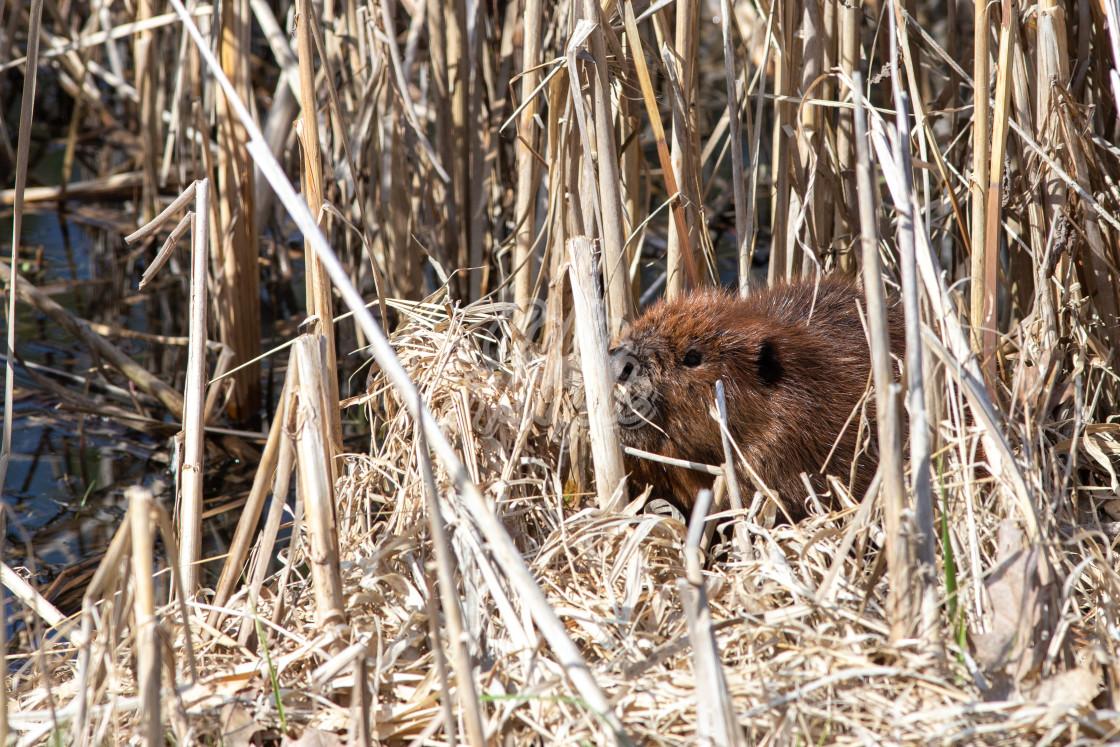 """Beaver hiding in dry reeds beside pond"" stock image"