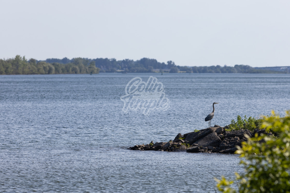 """""""Great Blue Heron on rocks by the river"""" stock image"""