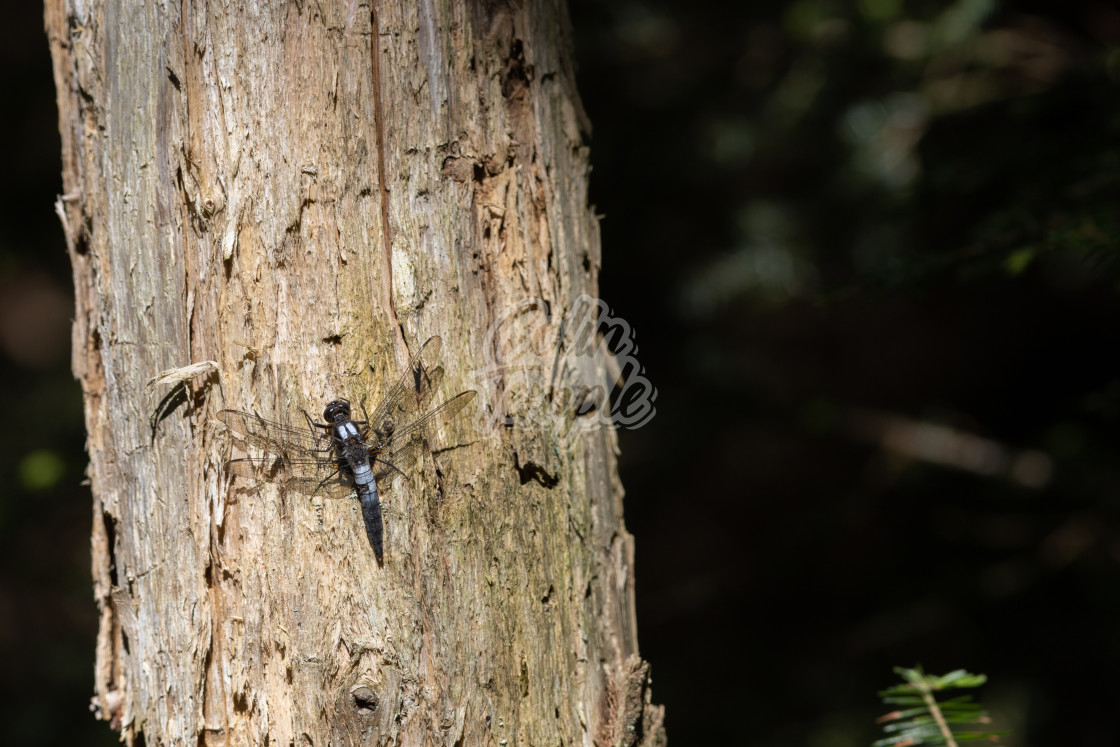 """""""Chalk-fronted corporal dragonfly on tree trunk"""" stock image"""