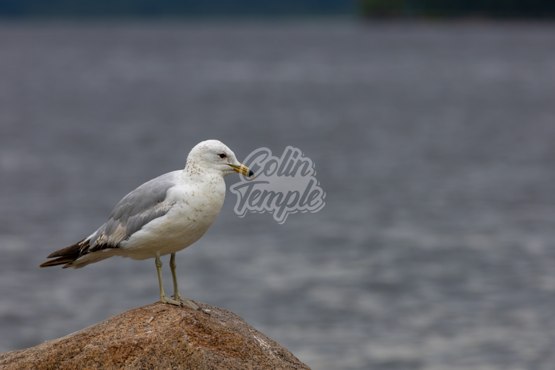 """""""Seagull stands on a rock in front of water"""" stock image"""