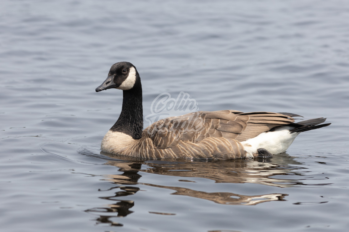 """""""Canada goose swimming on the water"""" stock image"""