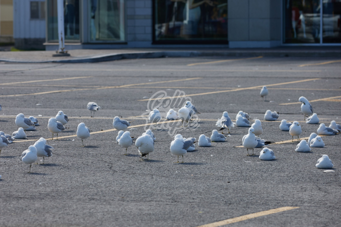 """""""Seagulls gathered in a parking lot"""" stock image"""