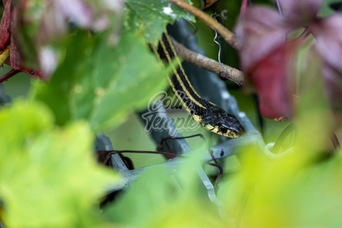 """Garter snake slithering among steel and leaves"" stock image"