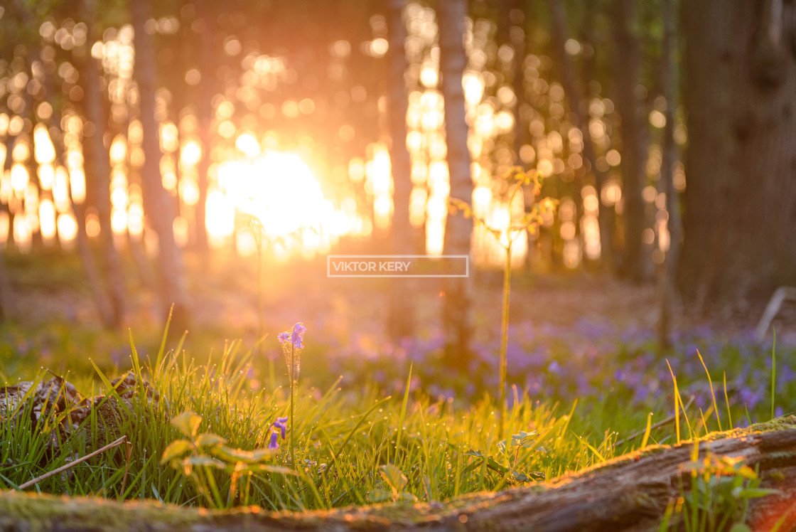 """Bluebell sunrise"" stock image"