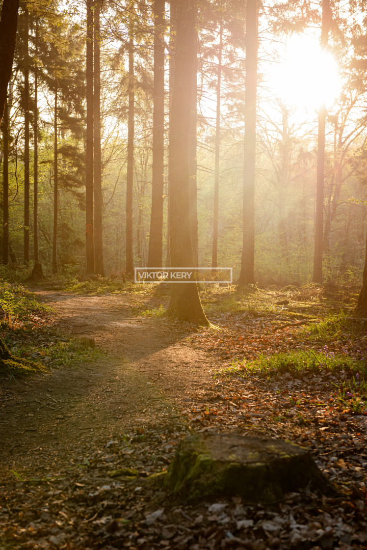 """Tilgate forest early morning"" stock image"