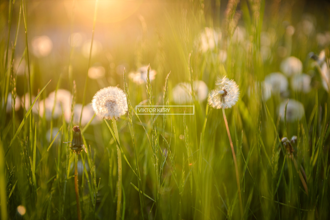 """Dandelions at sunset near Gatwick Airport"" stock image"
