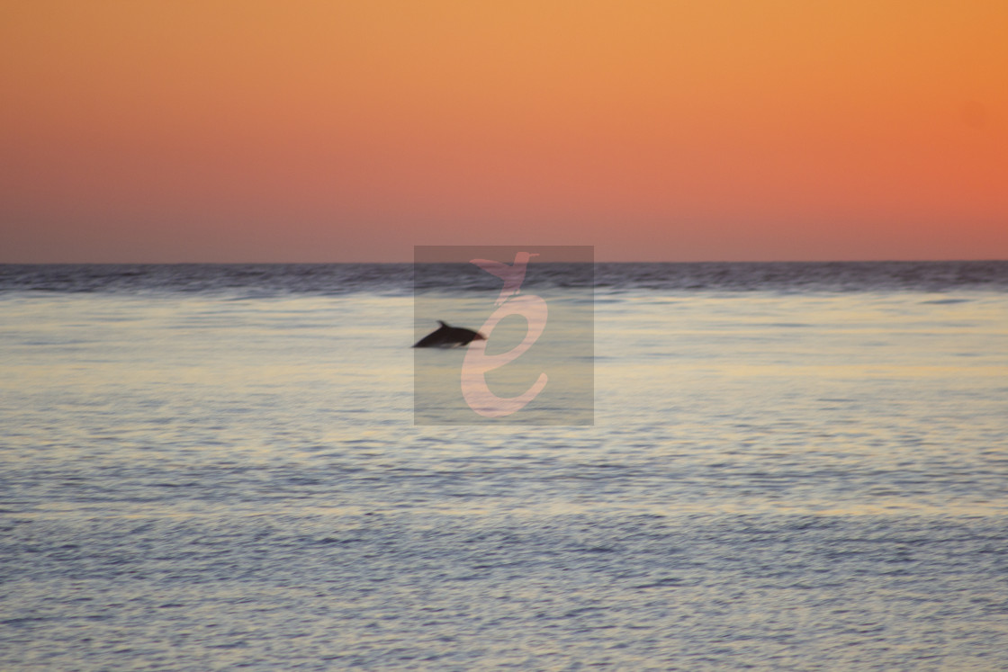 """Dolphin at sunset South West France"" stock image"