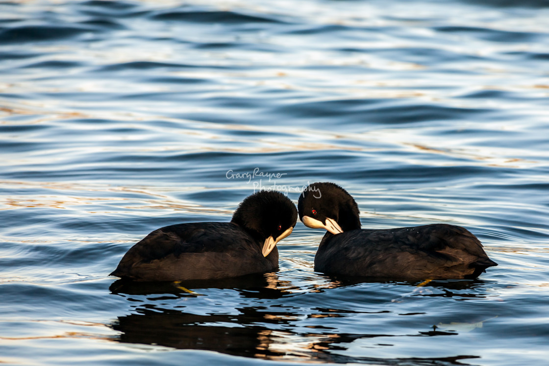 """""""Courting Coots"""" stock image"""