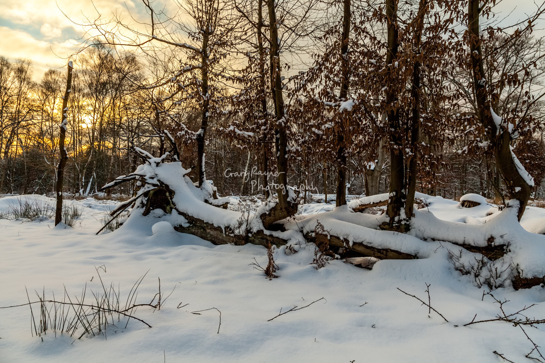 """Snow Covered Woodland"" stock image"
