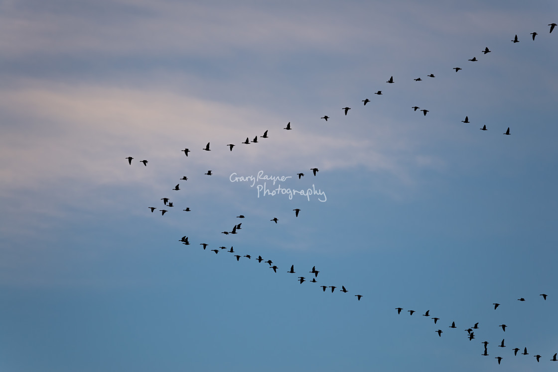 """""""Geese Formation"""" stock image"""