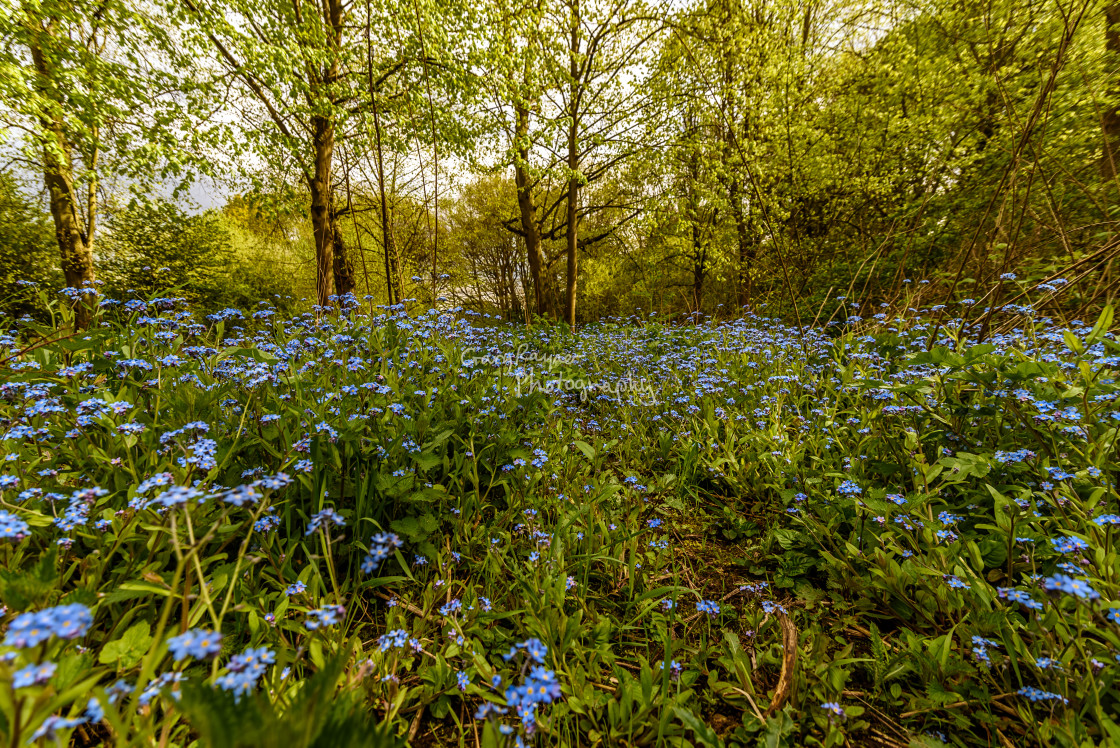"""""""Wild Forget Me Nots"""" stock image"""