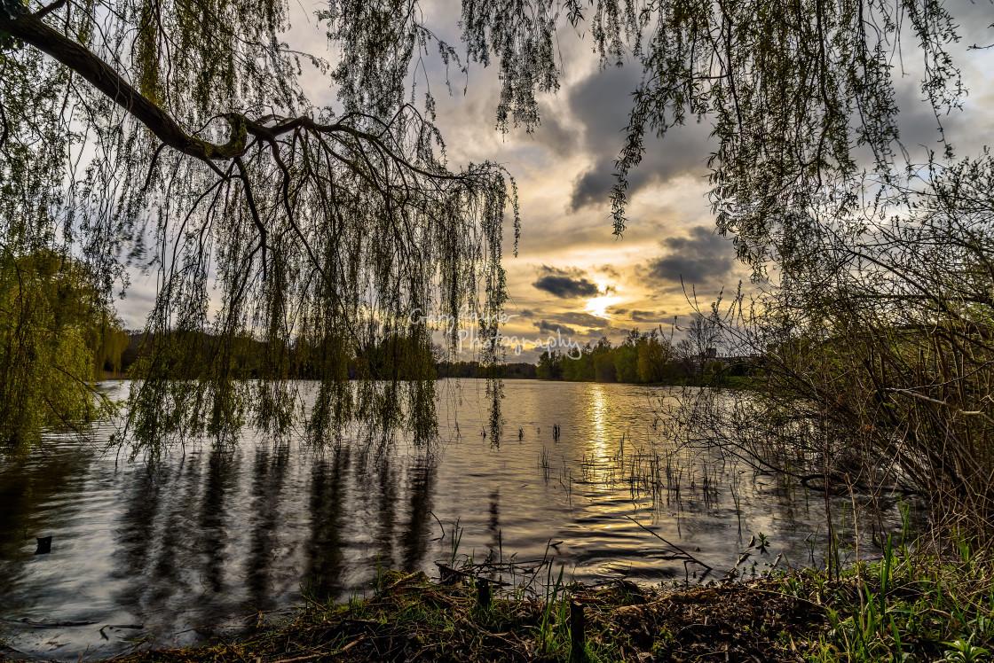 """Hanging Willow Tree"" stock image"
