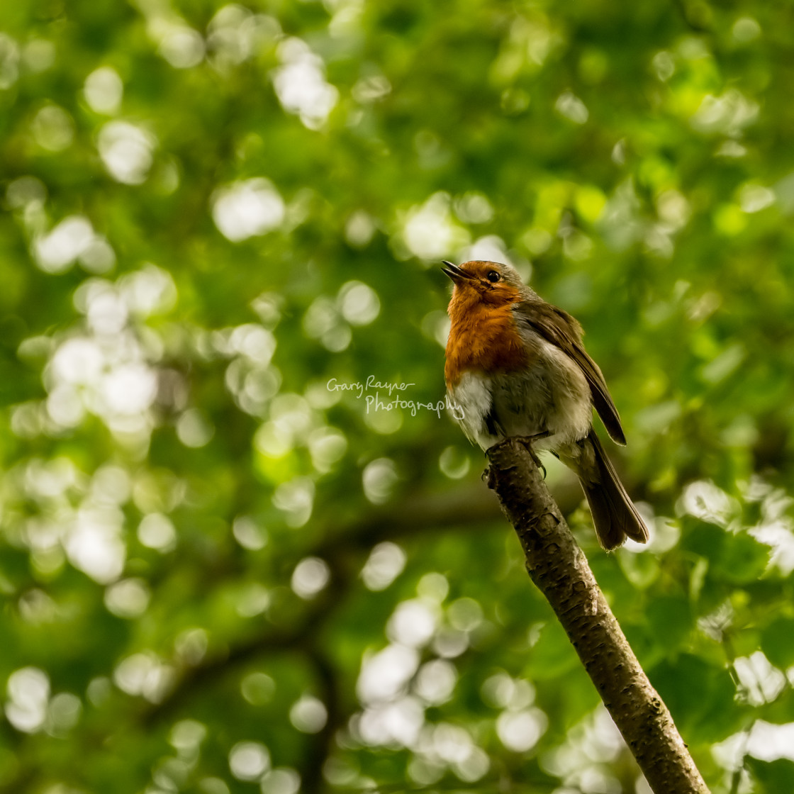 """Robin Perched"" stock image"