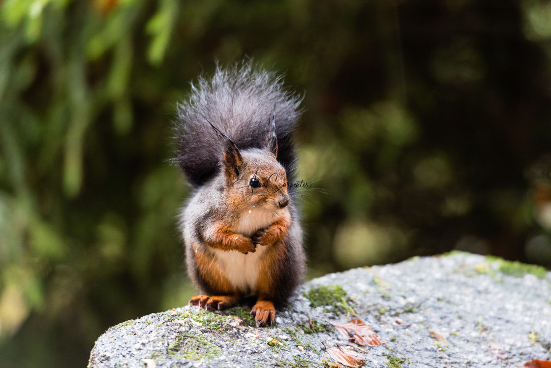 """""""Red squirrel looking"""" stock image"""
