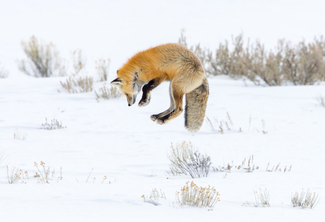 """""""Red fox jumping for prey"""" stock image"""