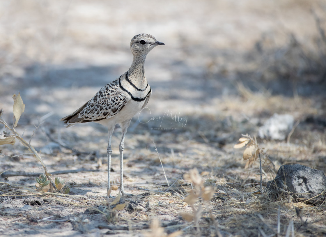"""""""Double banded Courser"""" stock image"""