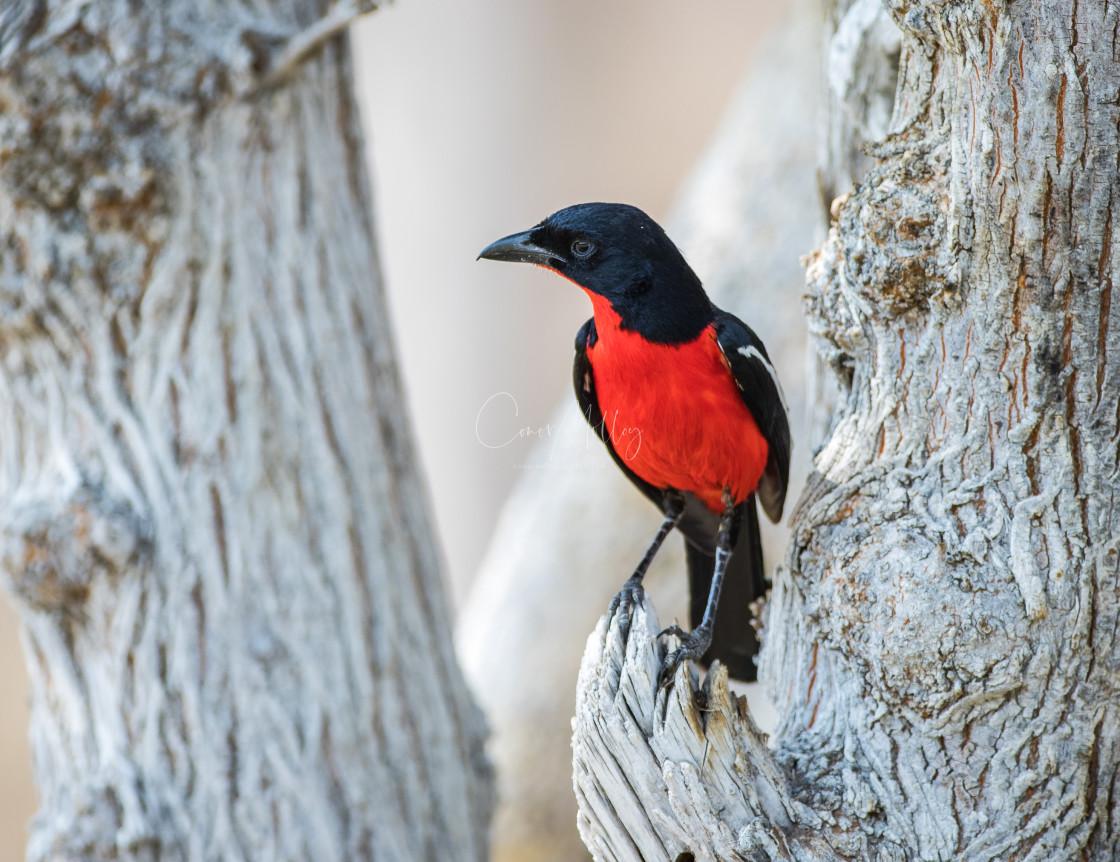 """""""Crimson breasted Shrike"""" stock image"""