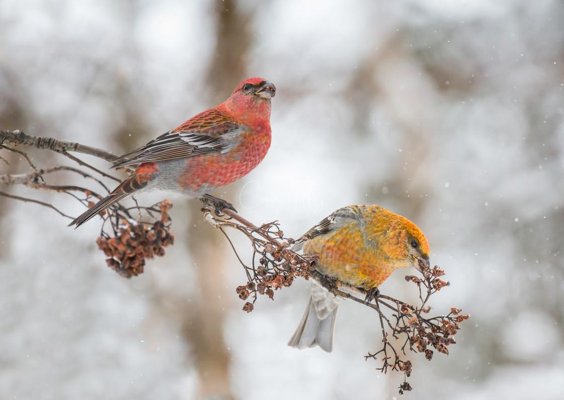 """Pine Grosbeak male and female"" stock image"