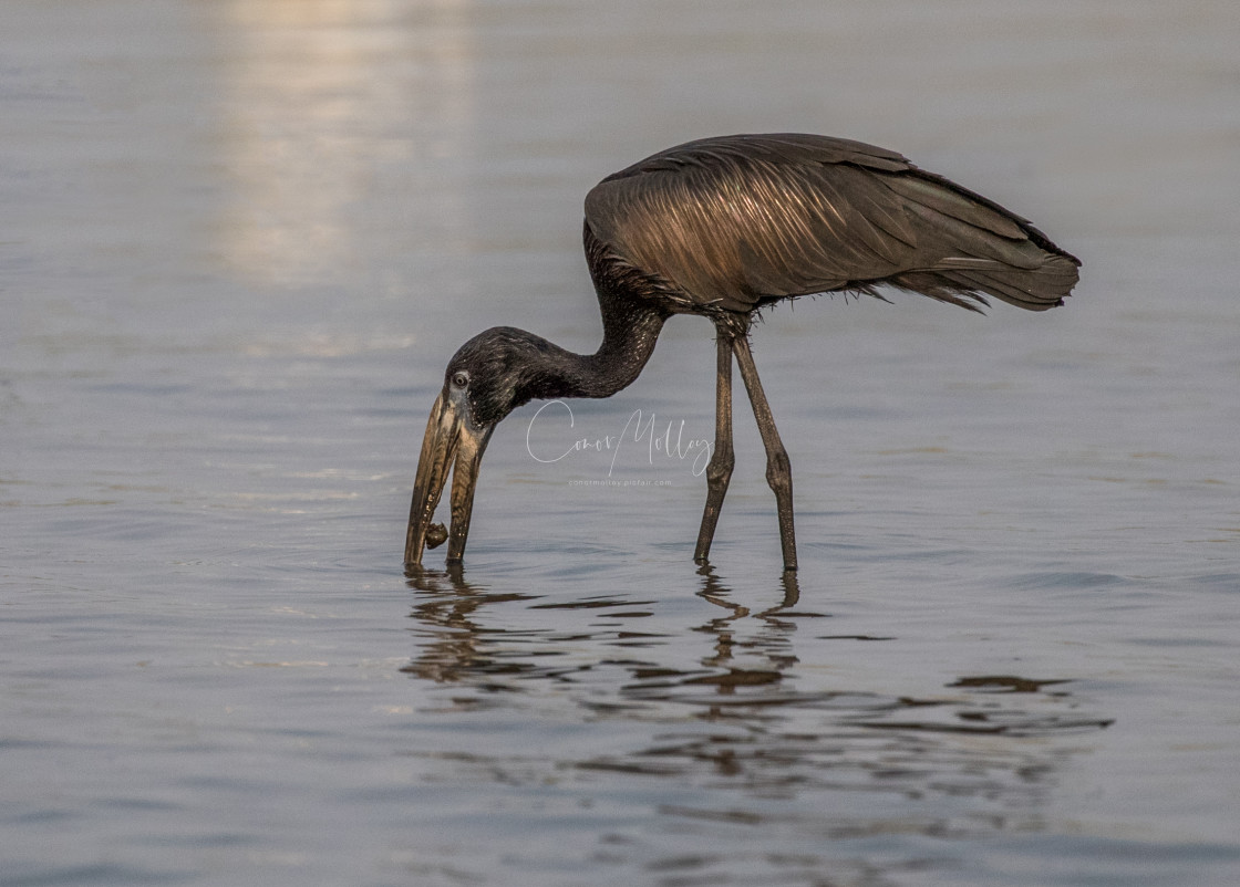 """""""African Openbill"""" stock image"""