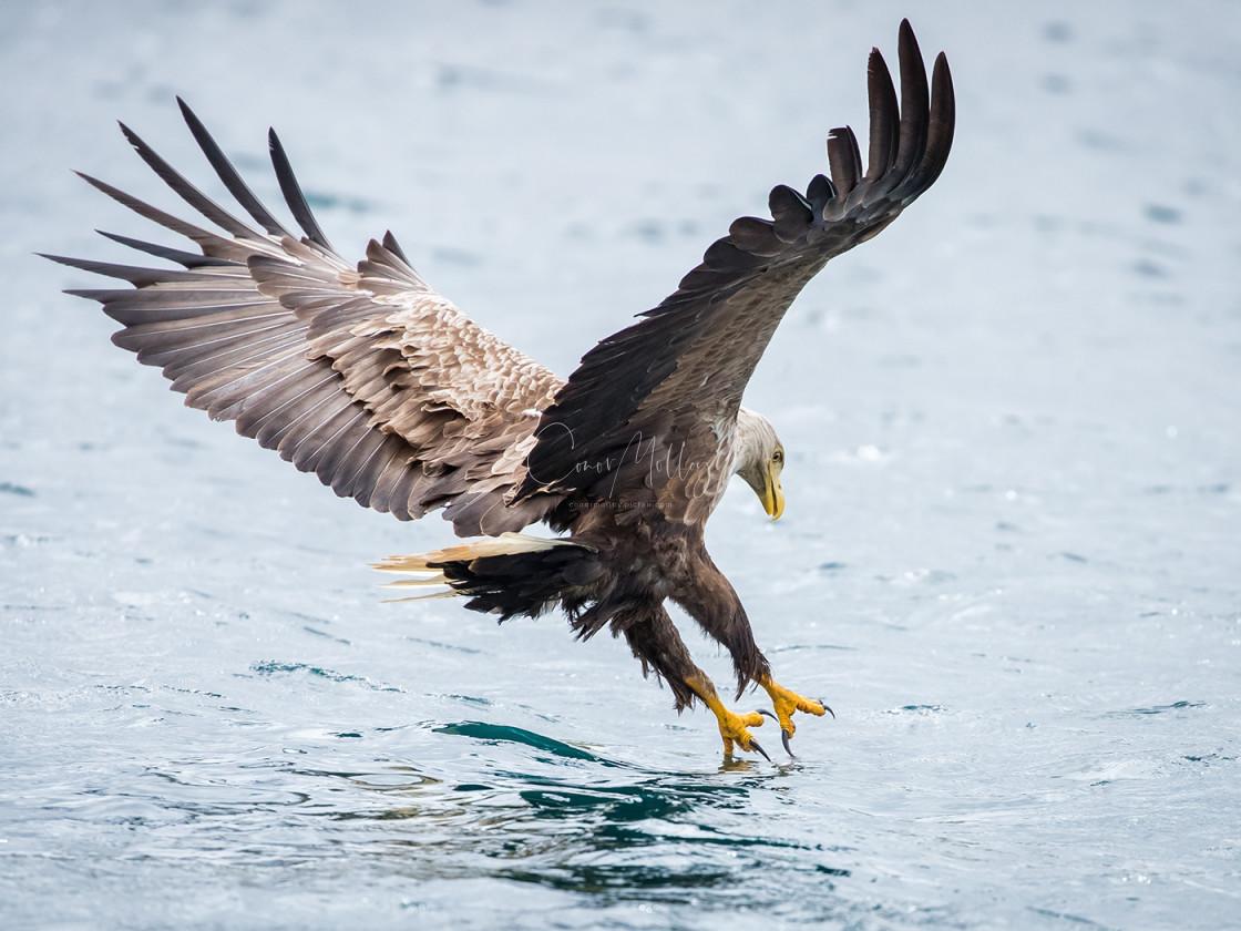"""White Tailed Eagle"" stock image"