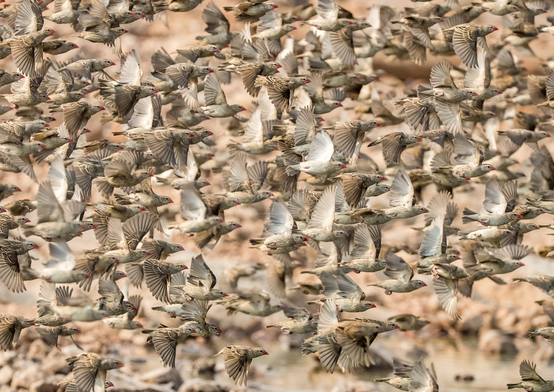 """""""Red billed Quelea"""" stock image"""
