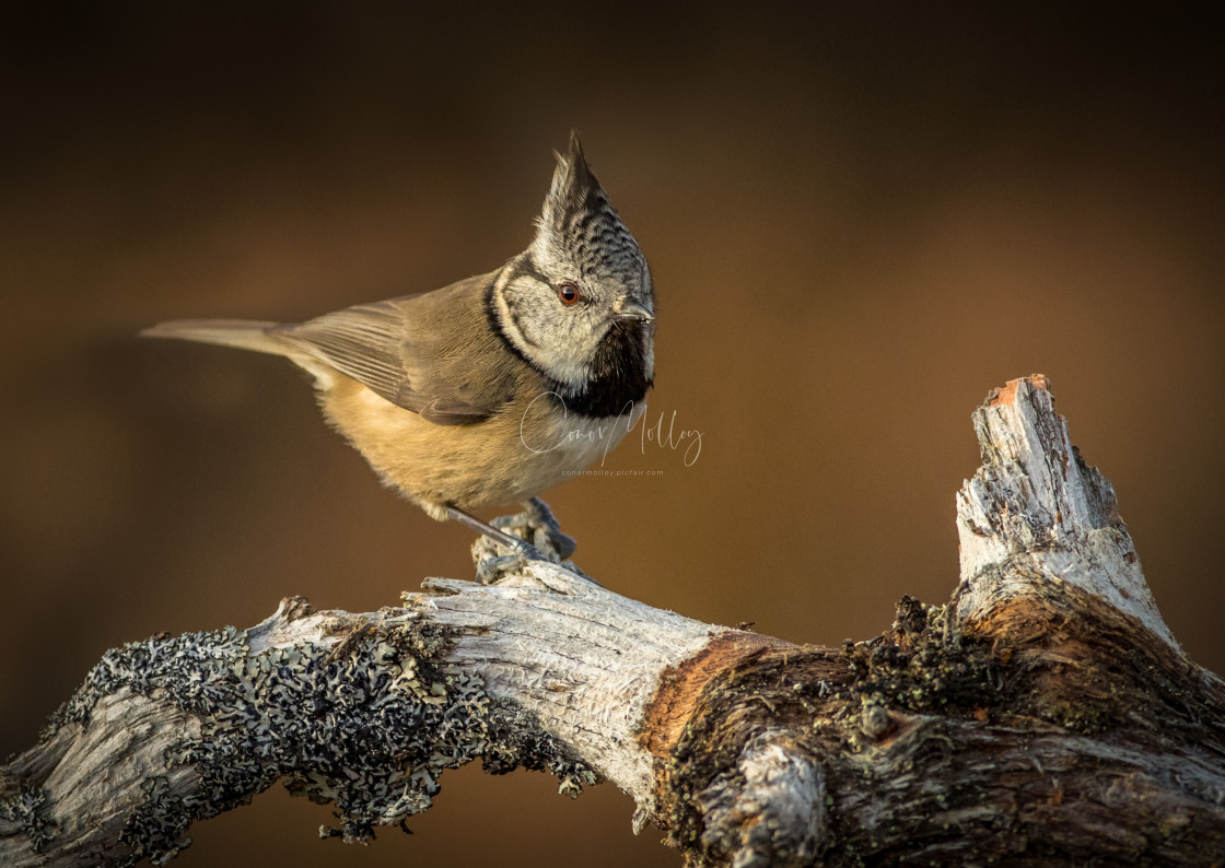 """""""Crested Tit"""" stock image"""