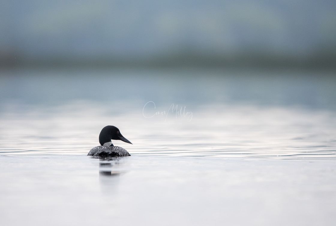 """""""Great Northern Diver"""" stock image"""