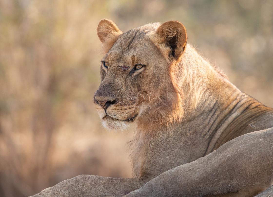 """""""Lion portrait"""" stock image"""