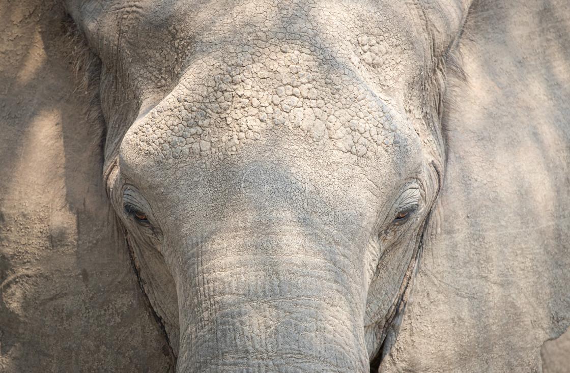 """""""Elephant close up"""" stock image"""