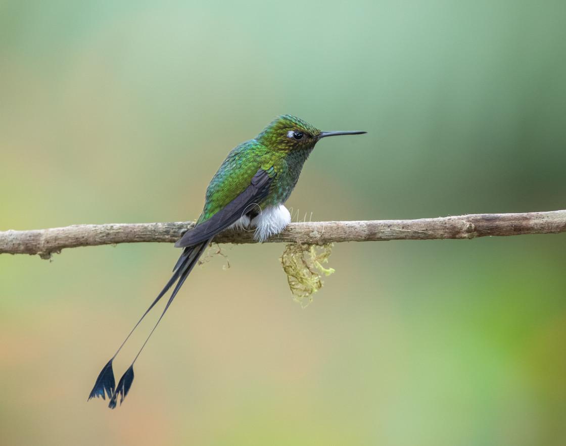 """Booted Rackettail Hummingbird"" stock image"