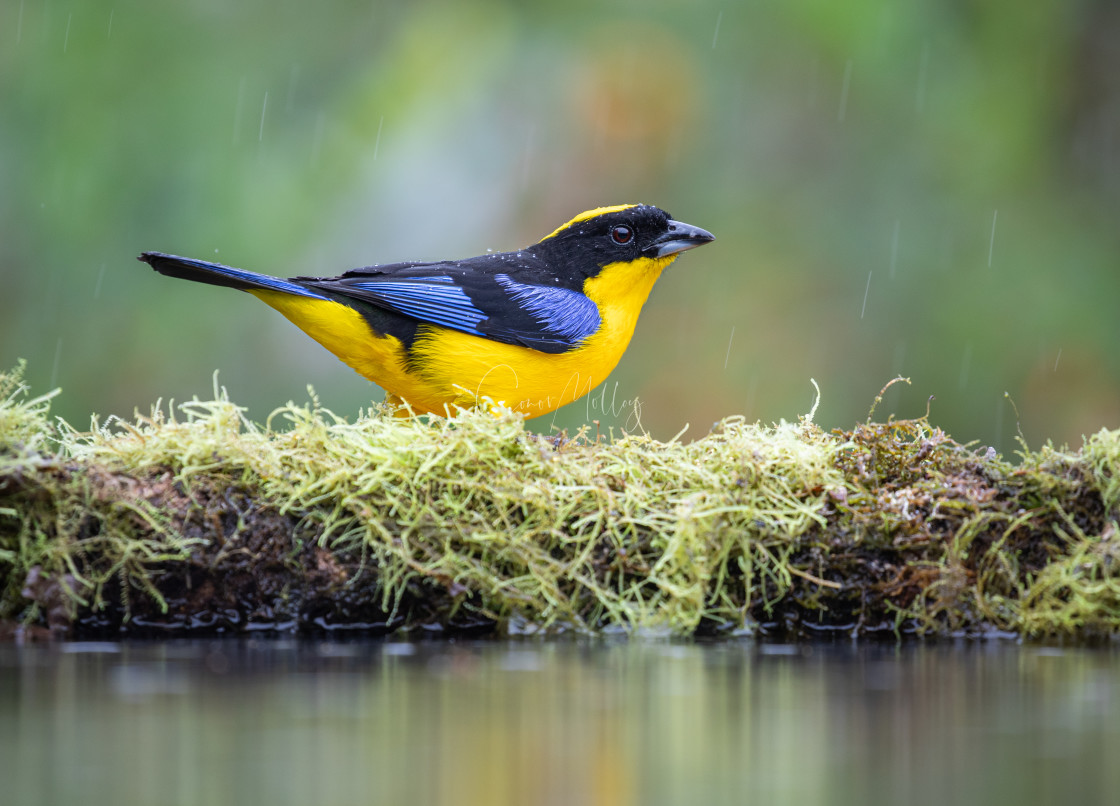 """""""Blue winged Mountain Tanager"""" stock image"""