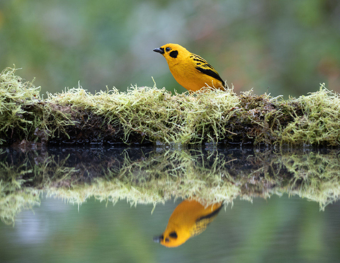 """""""Golden Tanager reflecting"""" stock image"""