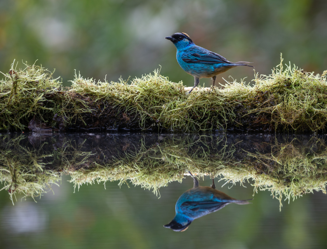 """""""Golden naped Tanager"""" stock image"""