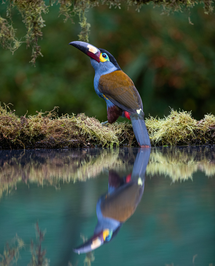 """""""Plate billed Mountain Toucan"""" stock image"""