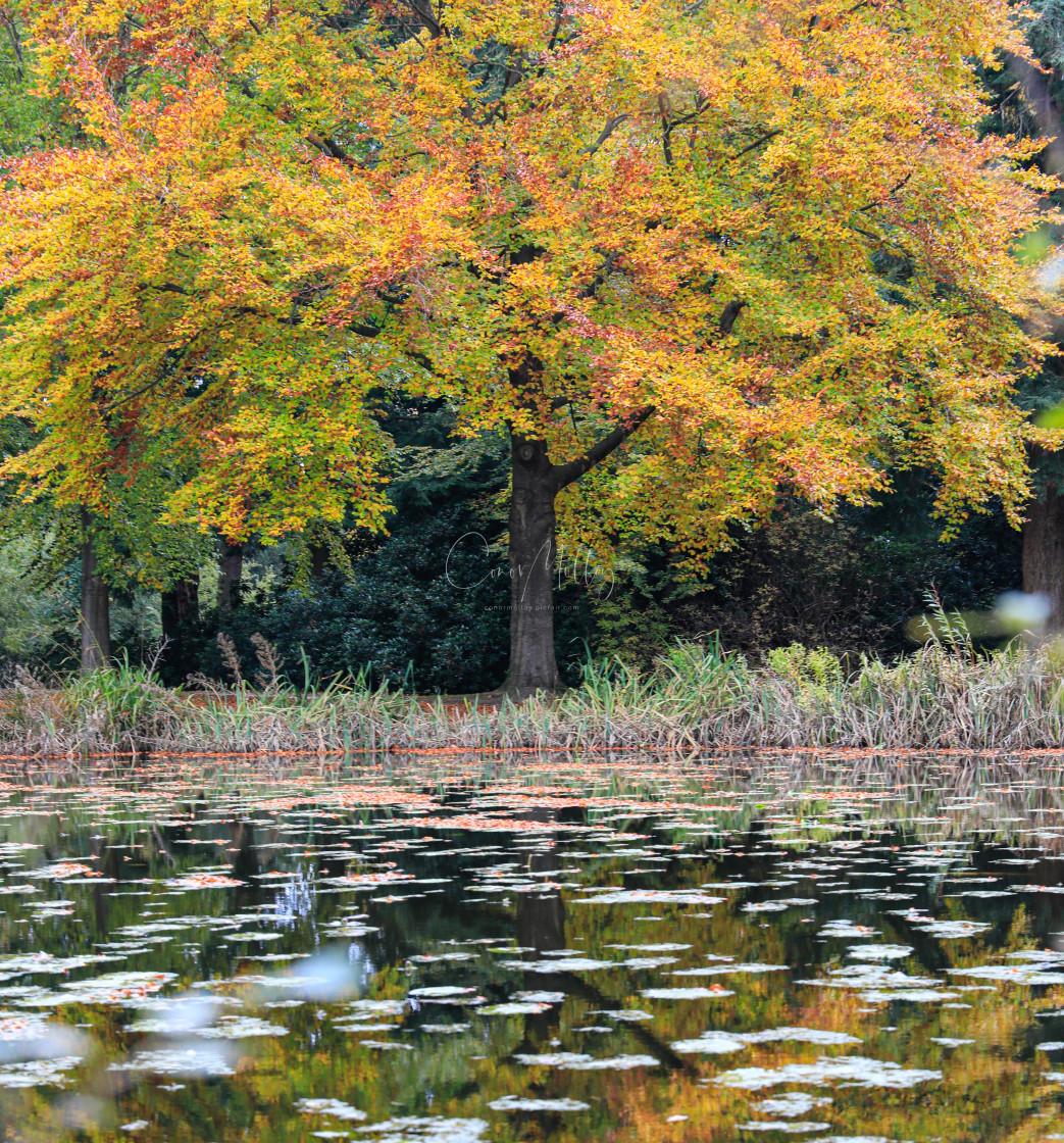"""colourful autumn tree"" stock image"