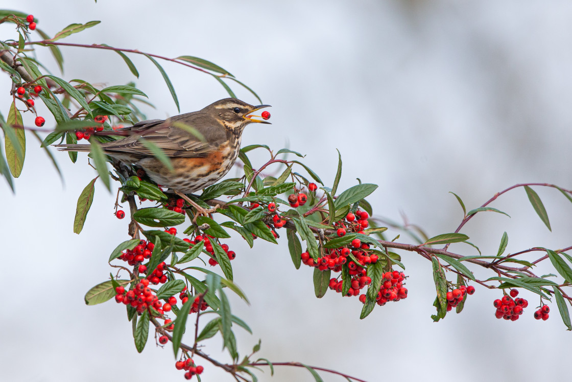 """""""Redwing feating on berries"""" stock image"""