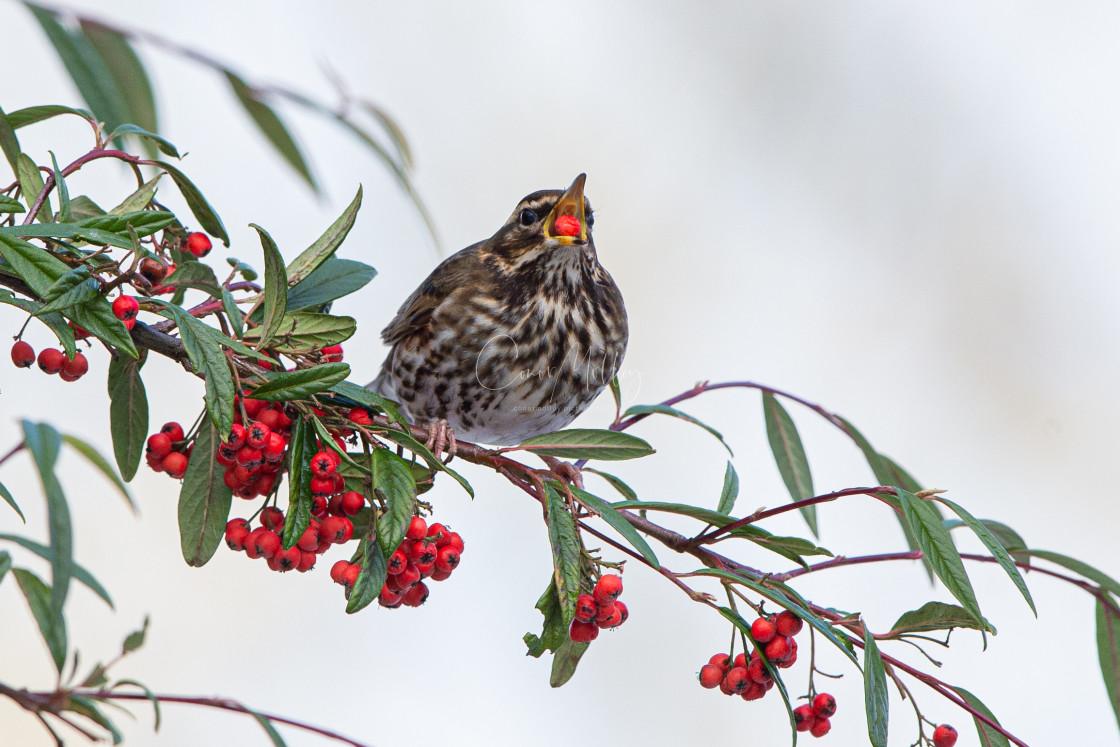 """Redwing eating berries"" stock image"
