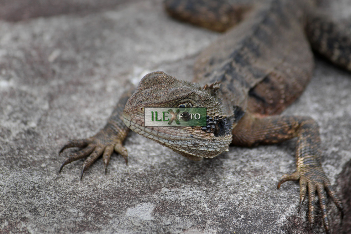 """Lizard look"" stock image"
