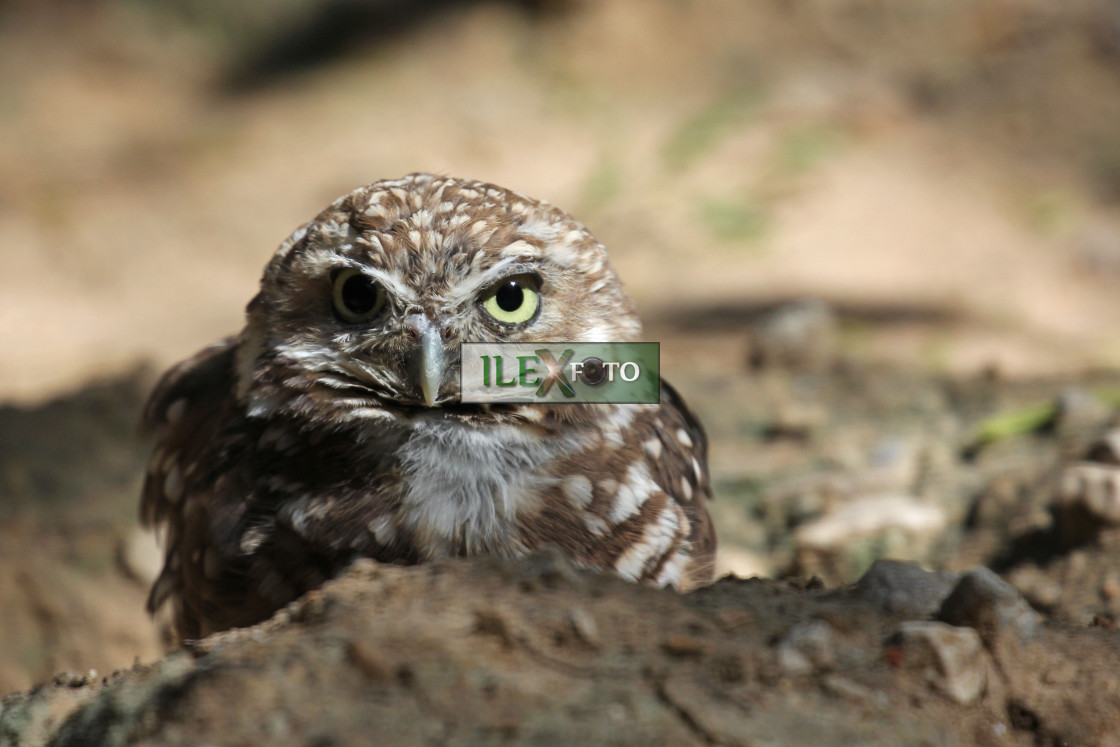"""Burrowing owl tightens its pupil"" stock image"