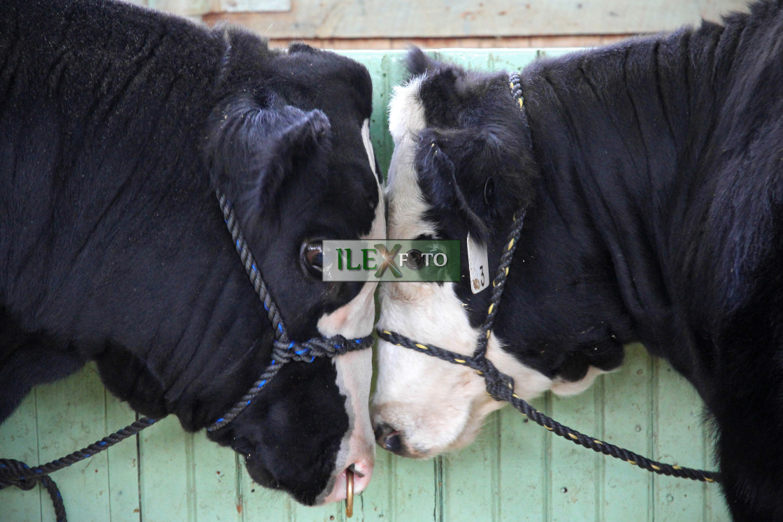 """Young cattle in love"" stock image"